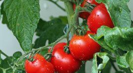 tomatoes-1561565_1920